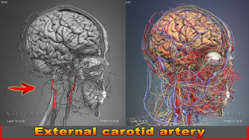 External carotid artery | Arteries of head and neck | 3D Human Anatomy | Organs