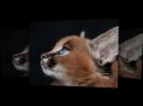 ★ Эти редчайшие котята каракалы стоимостью 11 000 $ наимилейшие существа в мире 480 X 854 mp4
