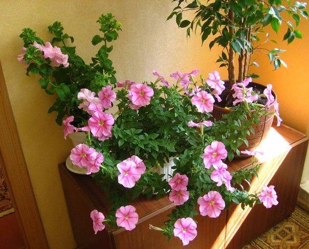8 правил успешного выращивания ампельных сортов петуний