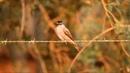 Crowned slaty flycatcher Черноголовый аргентинский тиранн Griseotyrannus aurantioatrocristatus