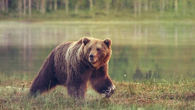 В Красноярском крае медведь напал на ранившего его охотника