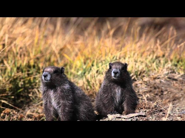 Olympic marmot / Олимпийский сурок / Marmota olympus » Freewka.com - Смотреть онлайн в хорощем качестве
