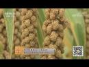 Просо пшено ГуЦзы зерно долин либо ШуЦзы просяное зерно Технология возделывания ценных злаков Район Сяуинь про