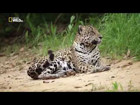 Ягуары против крокодилов (1080hd) (Jaguar vs. Croc)