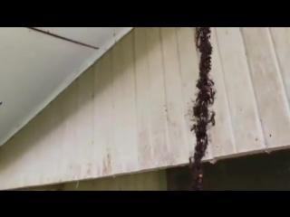 Муравьи атакуют осиный улей. Вот уж кто умеет работать в коллективе!