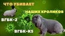 Погибают привитые кролики Мутирующий вирус убийца кроликов Новые штаммы ВГБК 2 ВГБК К5