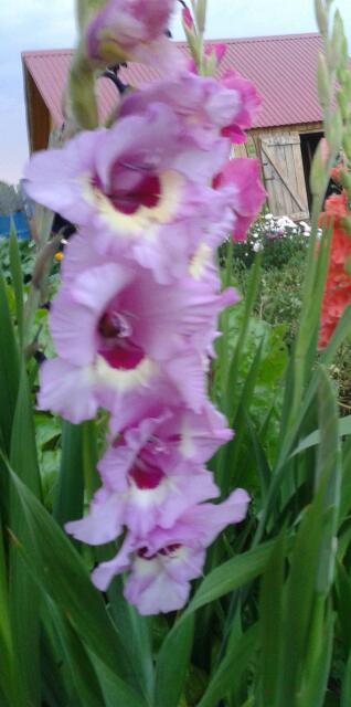 Цветы у Ликки - Страница 2 Upfw0BDfBGU