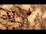 Удивительные насекомые (Муравьи кочевники)