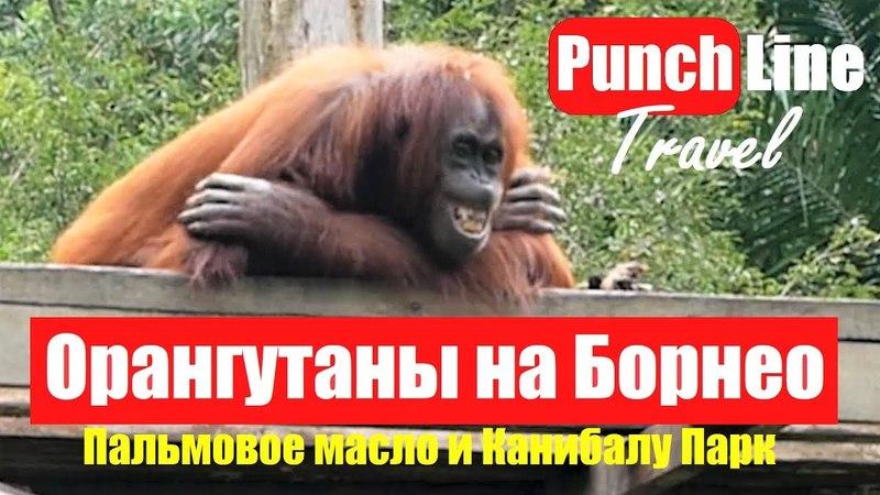 Орангутаны на Борнео. Пальмовое масло и уничтожение дождевых лесов. Кота Канибалу Парк в Малайзии