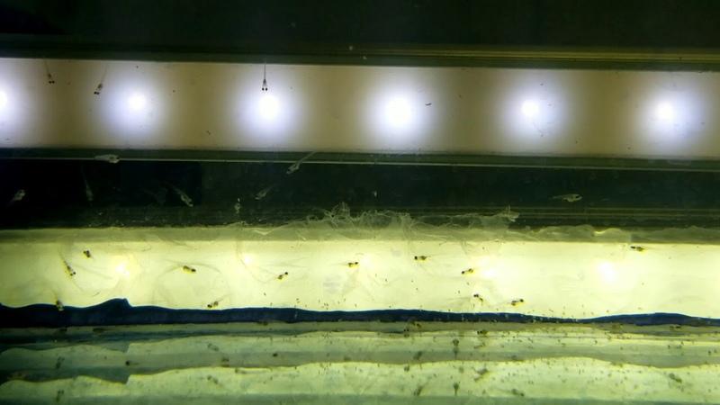 Малёк красного неона первый раз берёт корм Активное питание науплиусом артемии