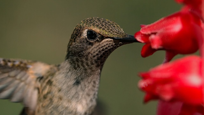 Male Hummingbirds Compete for Flower | BBC Earth