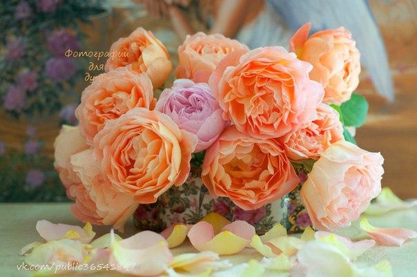 Пионовидные розы для открытки 824