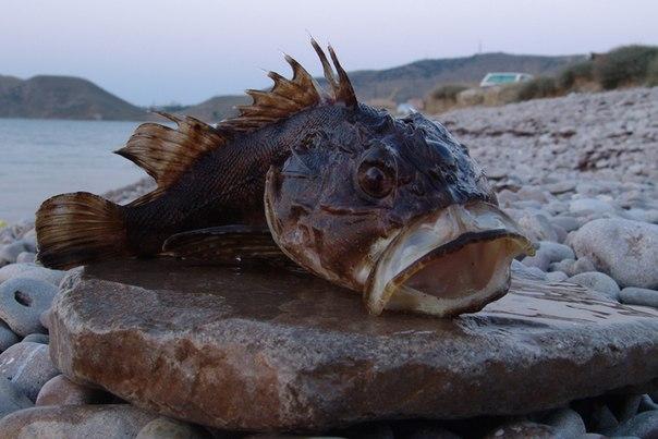 Около восьми тысяч тонн морского бычка добыли рыбопромышленные компании Сахалинской области в 2017 году