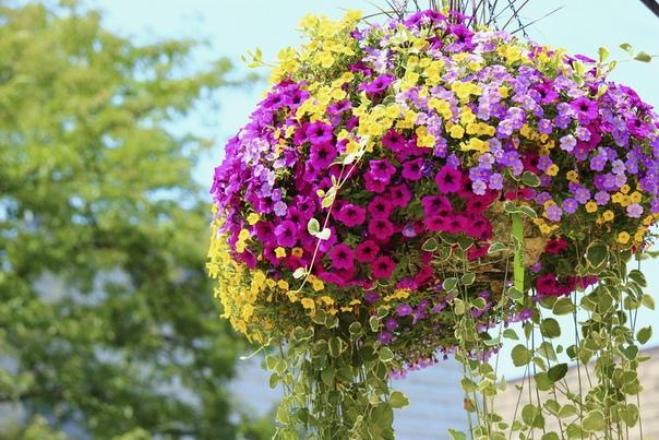 Формула обильного цветения петуний Секрет успеха в выращивании петунии прост: большая емкость , регулярные подкормки и достаточный полив , удаление отцветших цветков.1. Корневая система у