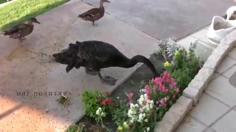 Черный лебедь занимается прополкой клумбы.