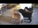 Щенкам понравился корм для коз