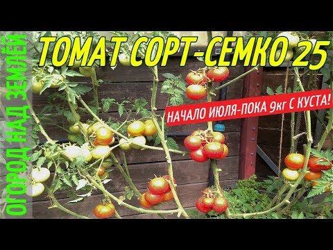 ТОМАТ,СОРТ-СЕМКО 25/начало июля-пока 9кг с куста.