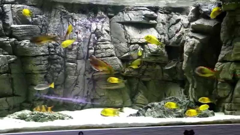 Tropheus Real İlangi Yellow