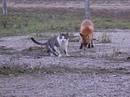В украинском заповеднике подружились кот и лис