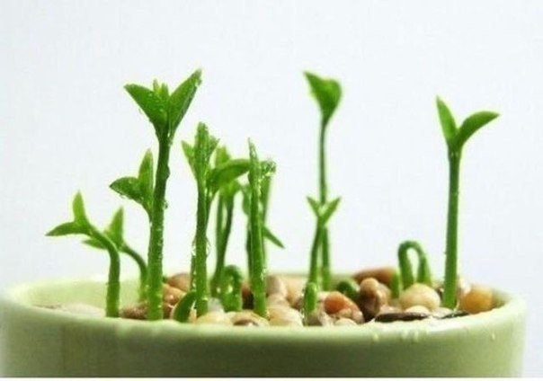 как вырастить лимонное дерево в чашке выберите самые большие семена лимона, дайте им пропитаться водой. очистите их от верхней оболочки. замачивайте семена в воде в течении недели, меняя воду