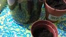 Размножение кактуса опунция детками
