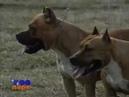 Собаки Американский Питбуль Фильм от VEGAS в 2002