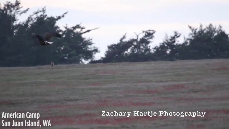 Amazing video shows eagle battling fox for rabbit in mid-air.mp4