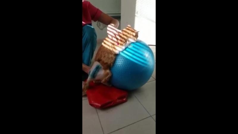 Рыжик учится вставать на лапки после операции