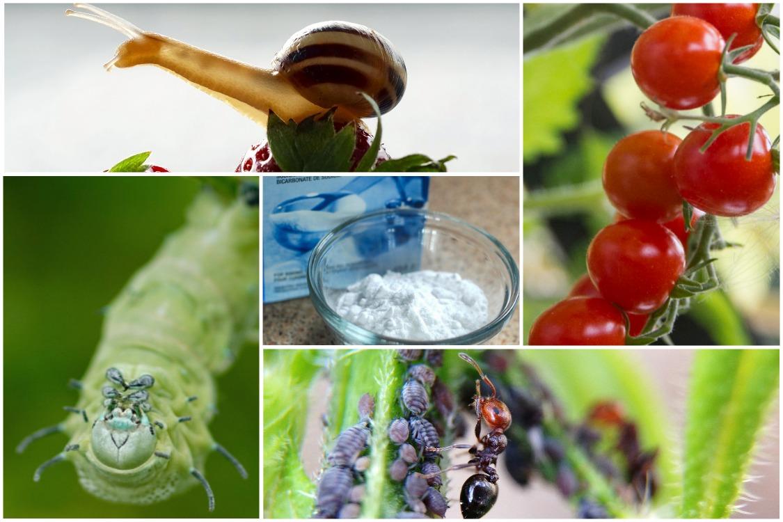 Сода в саду и огороде
