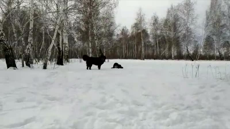 Тибетские мастифы из Белого Лекаря на прогулке в лесу