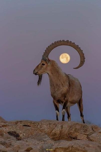 Козерог и Луна.