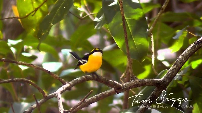 Yellow-breasted boatbill Желтогрудая лодкоклювая мухоловка Machaerirhynchus flaviventer