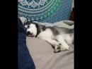 Хаски дурачится хорошее настроение, смешное видео, собака, пёс на кровати, домашнее животное, дома, постель, играет, щенок.