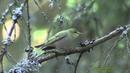 GRÖNSÅNGARE Wood Warbler (Phylloscopus sibilatrix) Klipp - 1201