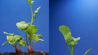 Radish Time-Lapse - 68 days | Soil cross section