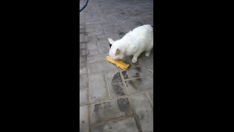 Снежок кушает кукурузу