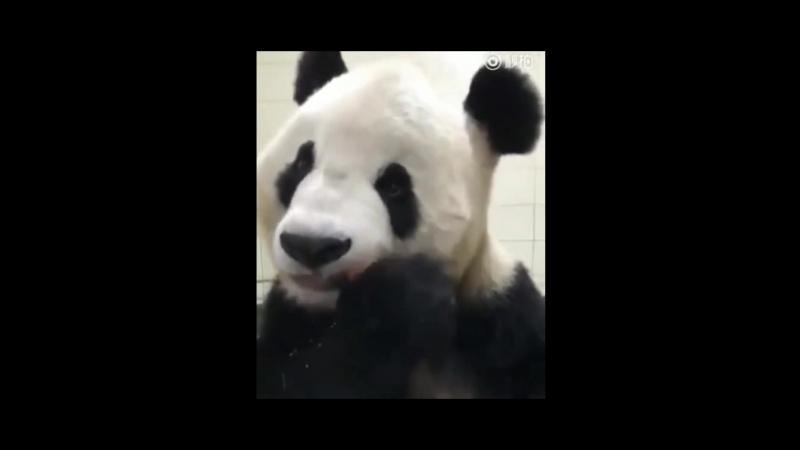 Панда ест морковку