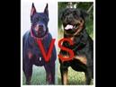 Какая собака круче Доберман или Ротвейлер Which dog is cooler Doberman or Rottweiler