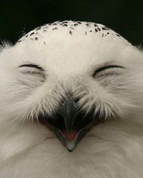 Смеющиеся совы Если у вас не очень хорошее настроение, смеющиеся совы его поднимут