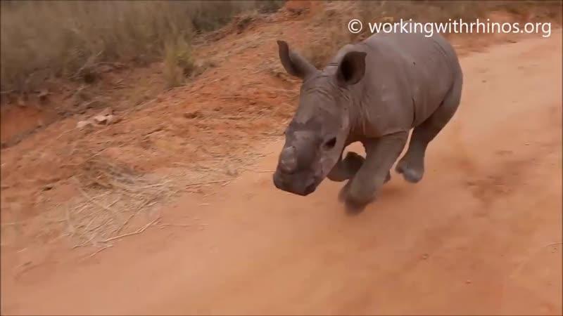 Walking baby rhino Warren - He knows his name