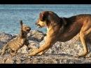 Кошки против Собаки Кто Кого? Видео Приколы с Животными