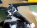 Толстый кот не может встать