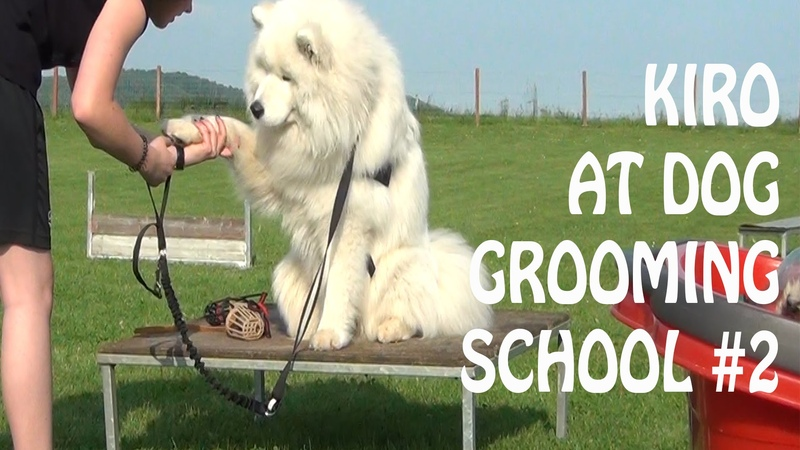 Samoyed at dog grooming school 2