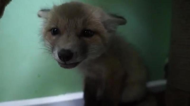 испуганный лисёнок
