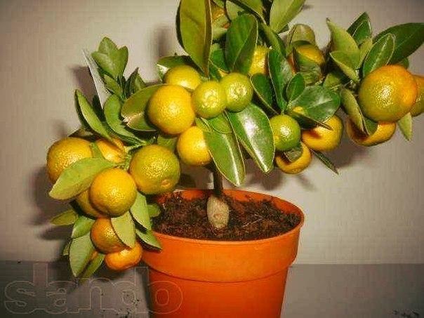 как вырастить апельсиновое дерево из косточки в магазинах продают лимонные, апельсиновые, мандариновые деревья с плодами и не верится, что у вас дома оно сможет выжить. да и цены на цитрусовые