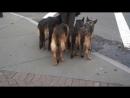 Бразильский дрессировщик немецких овчарок Аугусто Деоливьера знает толк в воспитании собак