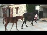Foals loading in Fautras horse trailer