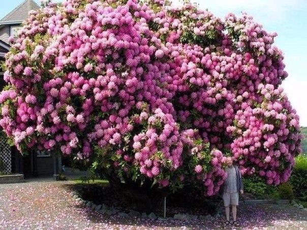 Рододендрон - красивая фантазия природы