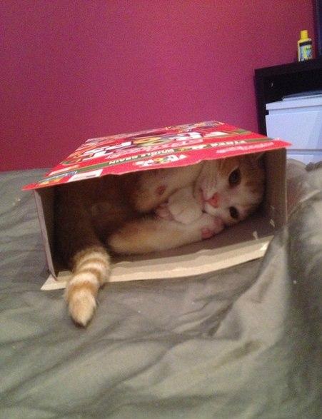Я не знаю зачем, но вот уже 3 день, как кот ворует коробку с