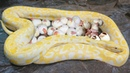 Albino burmese python laying eggs and baby python hatching from these eggs